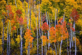 fall color, autumn, aspen trees, mountain, Colorado, landscape