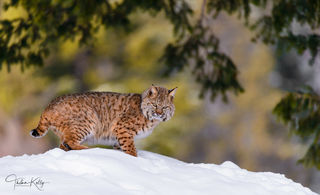 bobcat, snow, predator, winter, wildlife