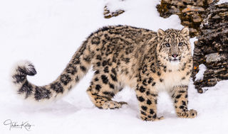 snow leopards, long tail, snow, winter