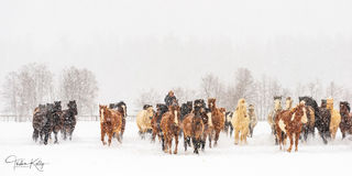 Montana, horses, winter, snow horse gathering, ranch life, snowy day, team of horses