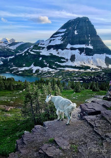 Mountain goat, mountain, Glacier National Park, national parks