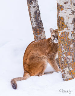 Cougar, snow, tree