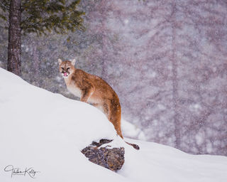 Montana, snow, winter, cougar, wild animals, predator