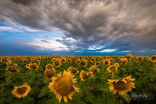 sunflowers, sunflower field, Colorado, landscape