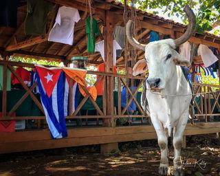Vaca, ox, Viñales, Cuba, cuban flag
