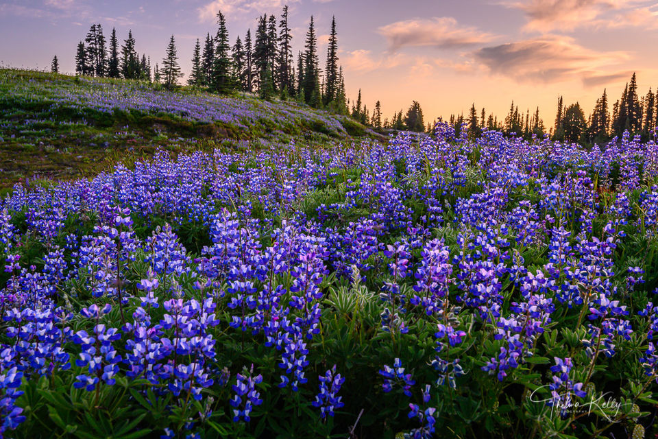 High Altitude Lupine print