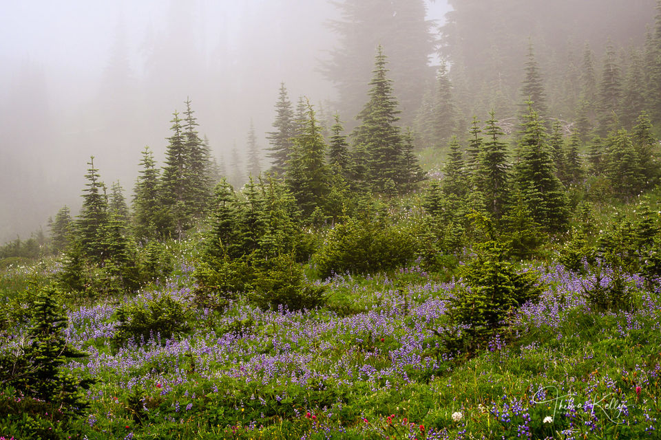 Misty Lupines print