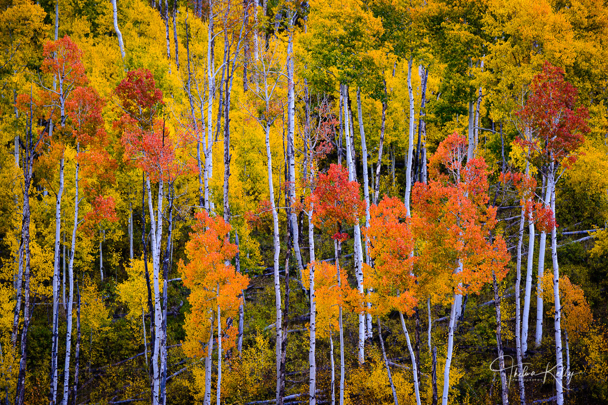 fall color, autumn, aspen trees, mountain, Colorado, landscape, photo