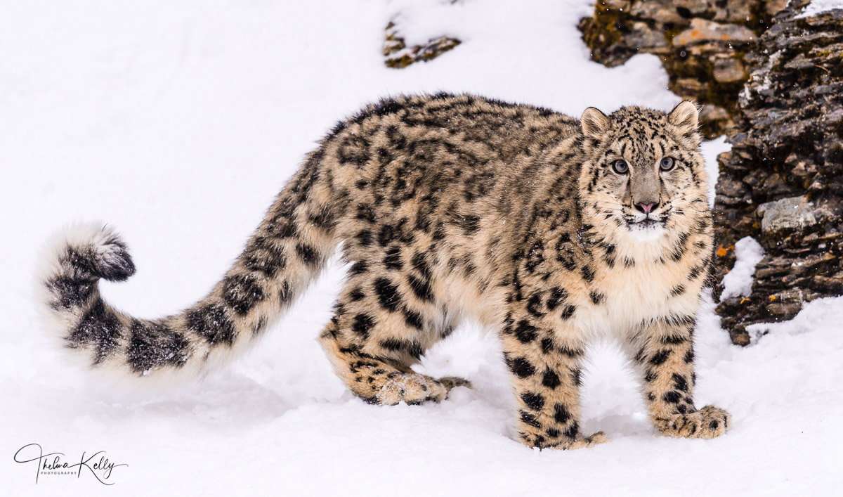 snow leopards, long tail, snow, winter, photo