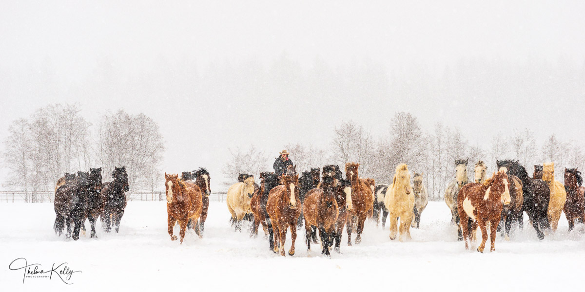 Montana, horses, winter, snow horse gathering, ranch life, snowy day, team of horses, photo
