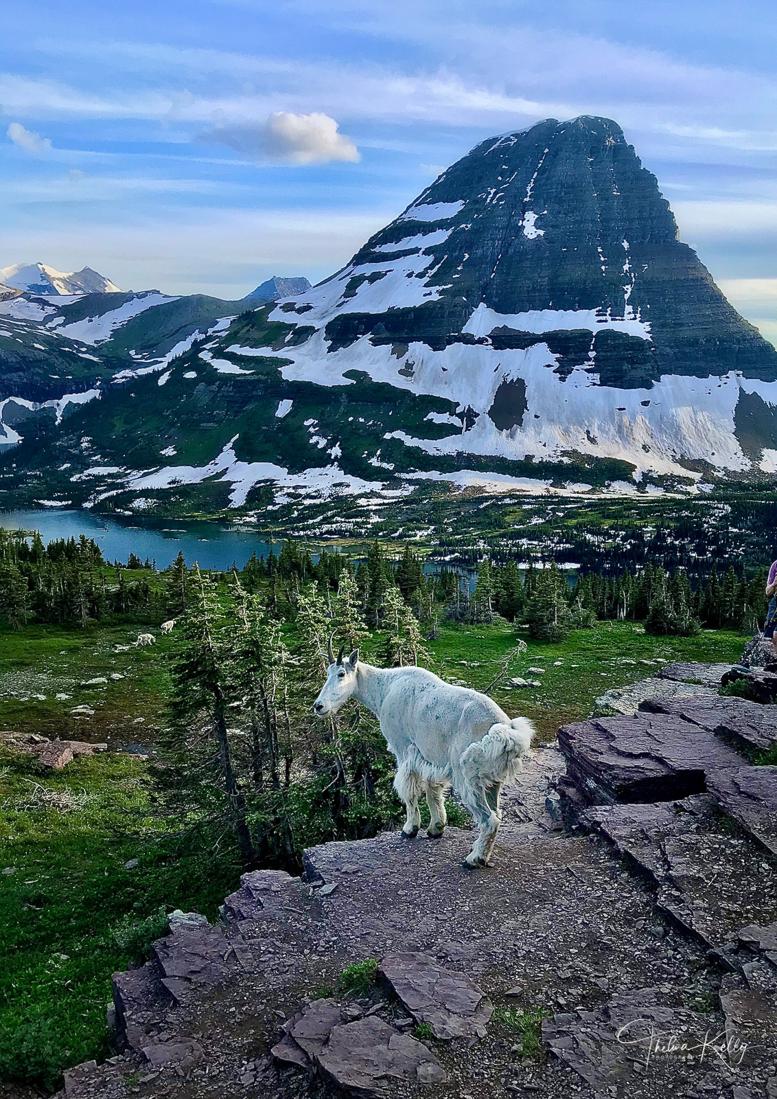 Mountain goat surveying his slice of heaven