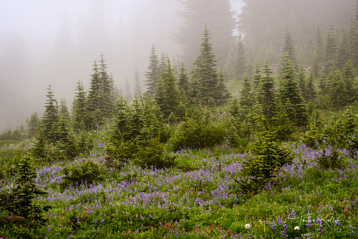 Mt. Rainer National Park, national parks, wildflowers, spring wildflowers, lupine, mist, photo