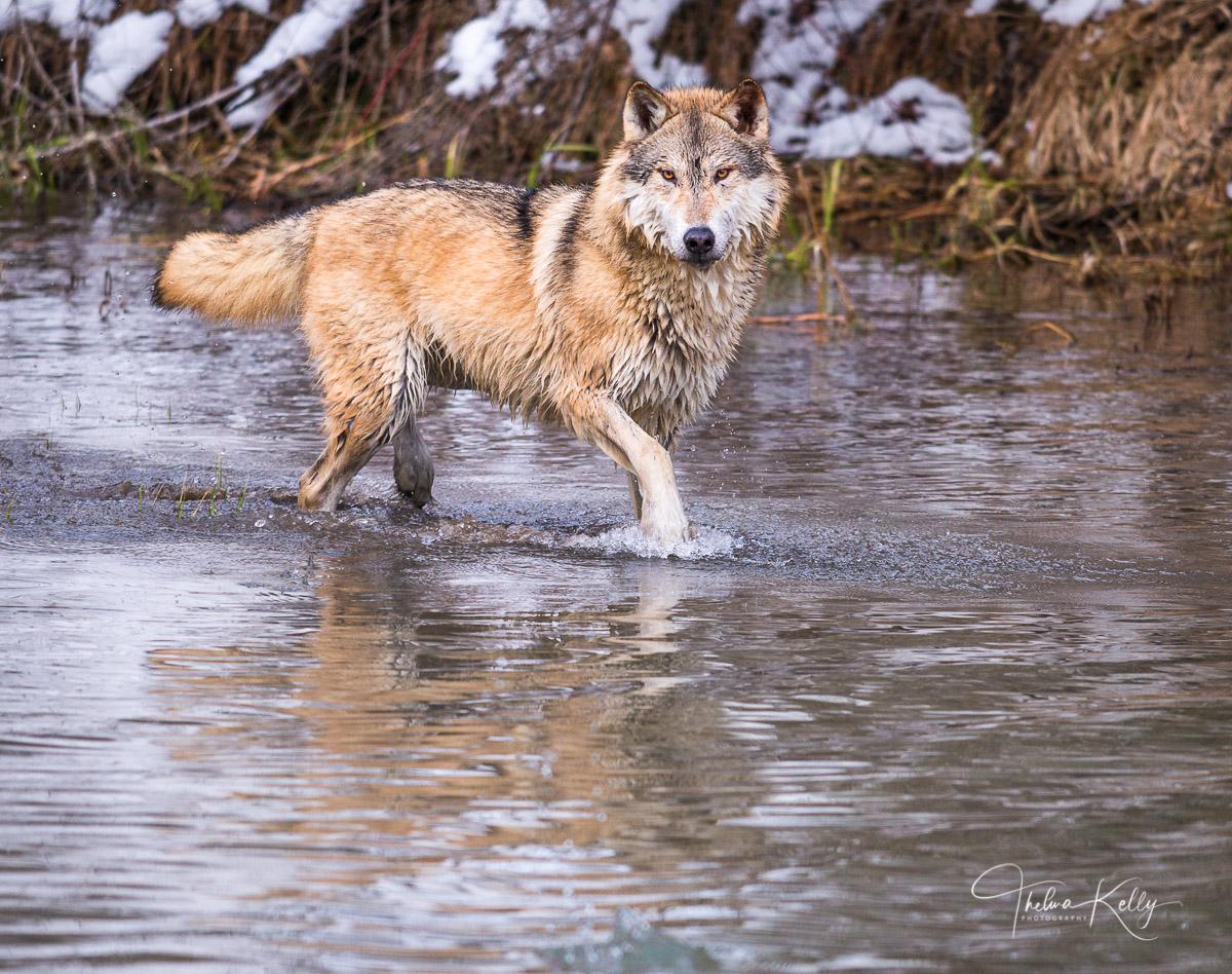 Arctic tundra wolf, small size, cream color, photo