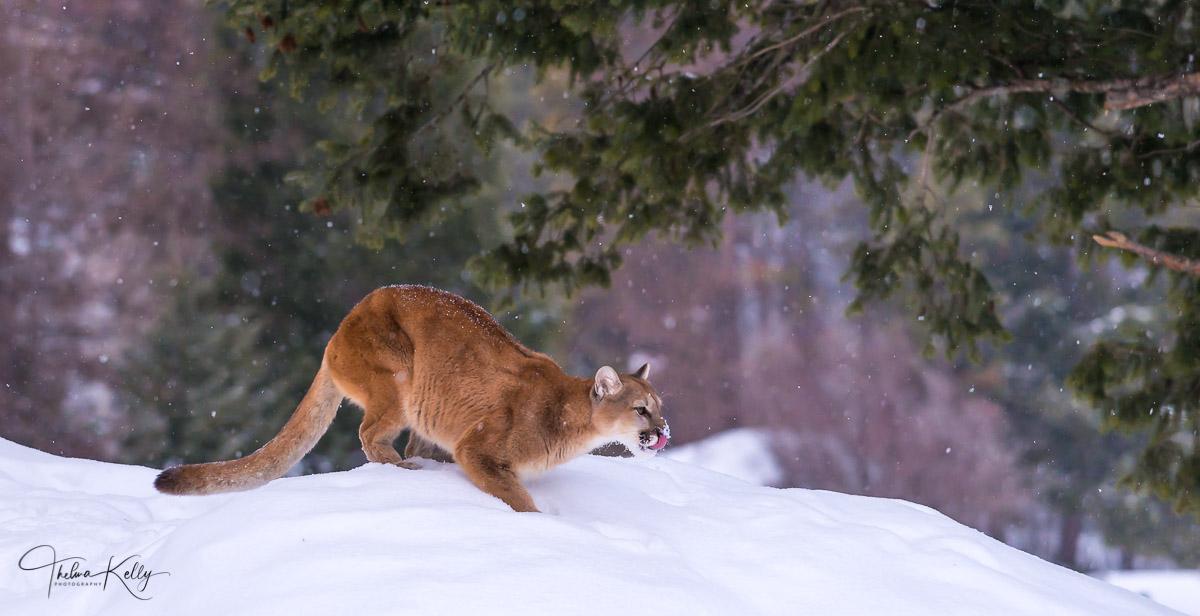 Cougar, stalking, snow, prey, photo