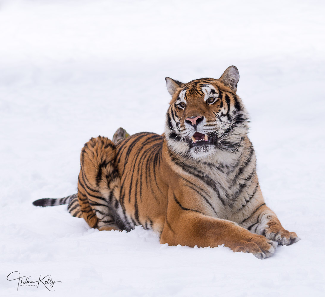 Siberian tiger, endangered species, snow, photo