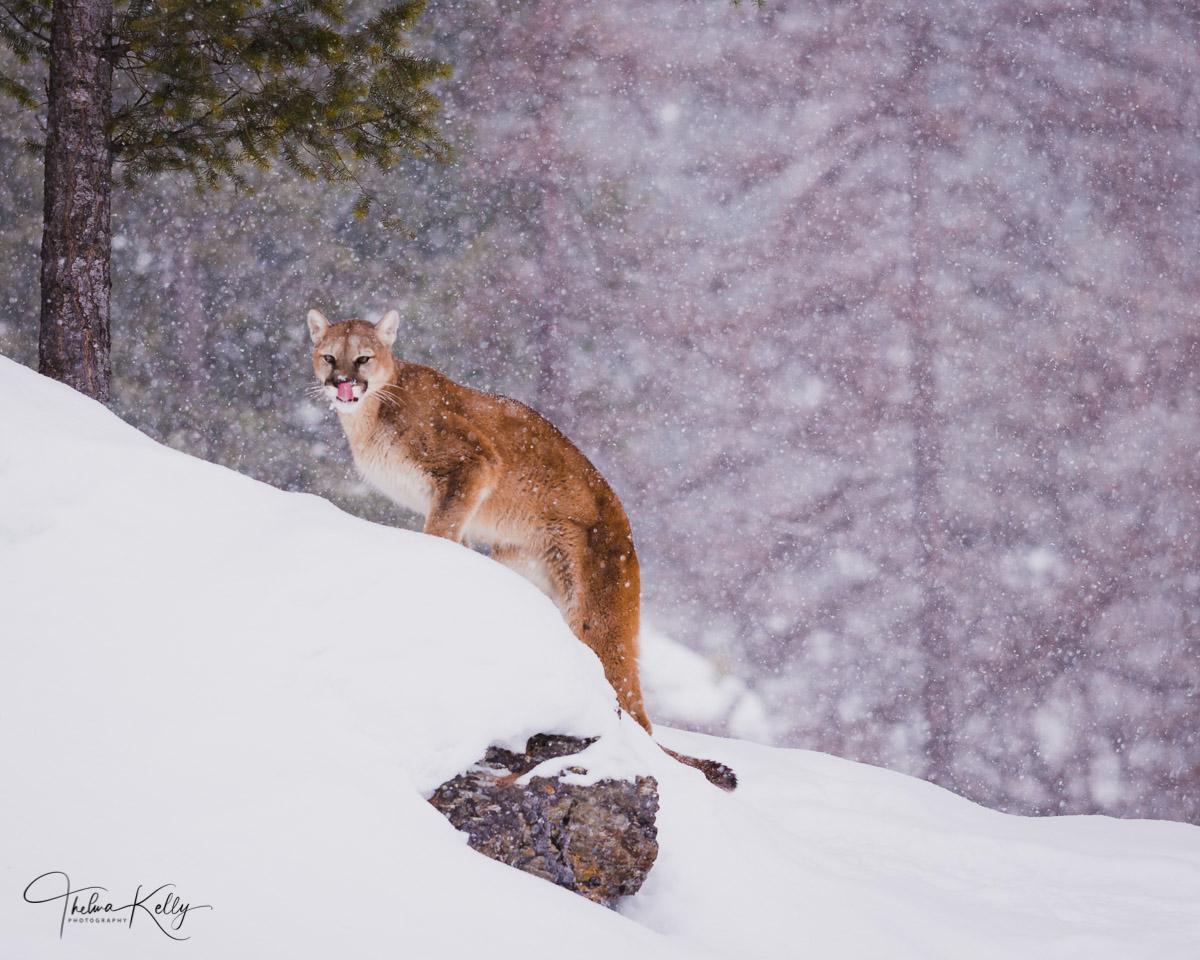 Montana, snow, winter, cougar, wild animals, predator, photo