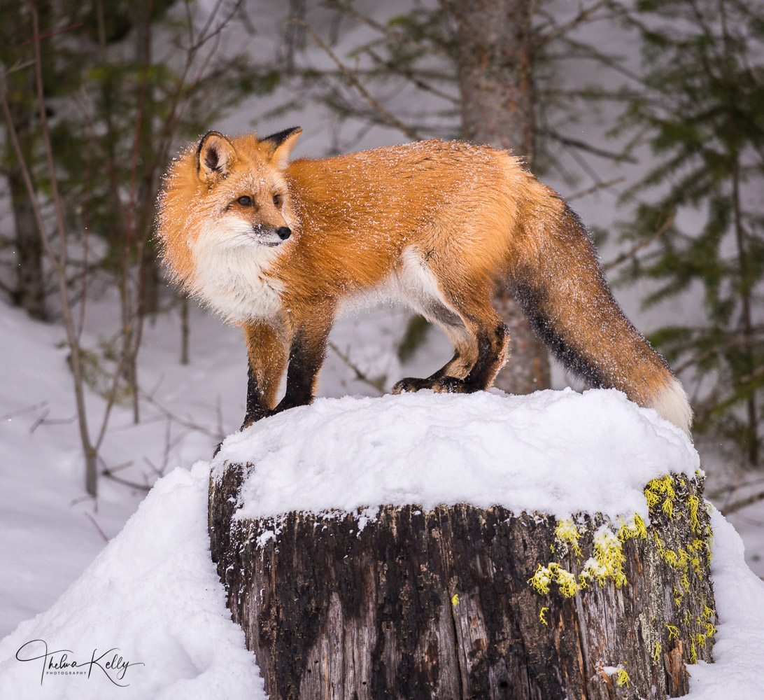Fox, winter coat, luxurious winter coat, surveys surroundings, photo