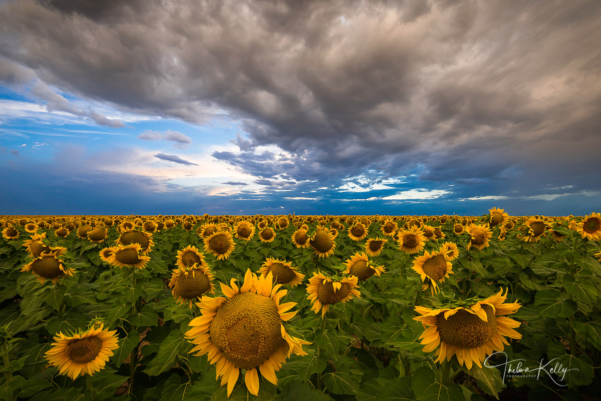 sunflowers, sunflower field, Colorado, landscape, photo