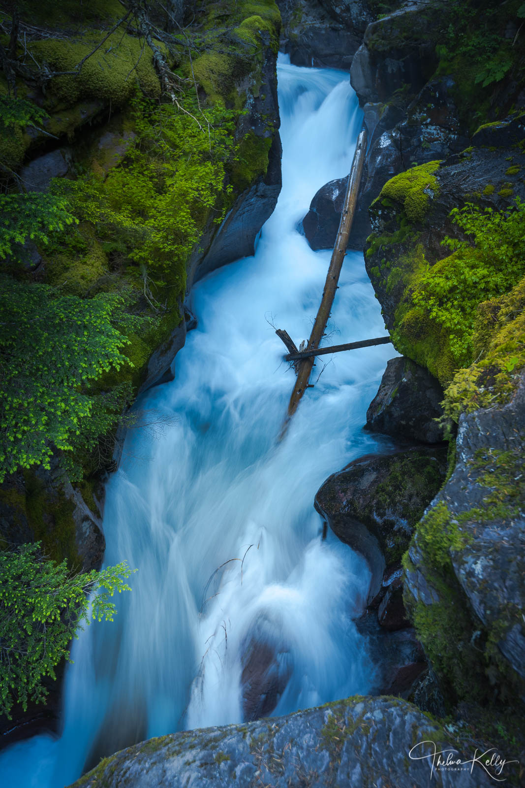 Lush ferns and mosses grow along the forest floor in Avalanche Creek at Glacier National Park. The thick canopy of trees, some...