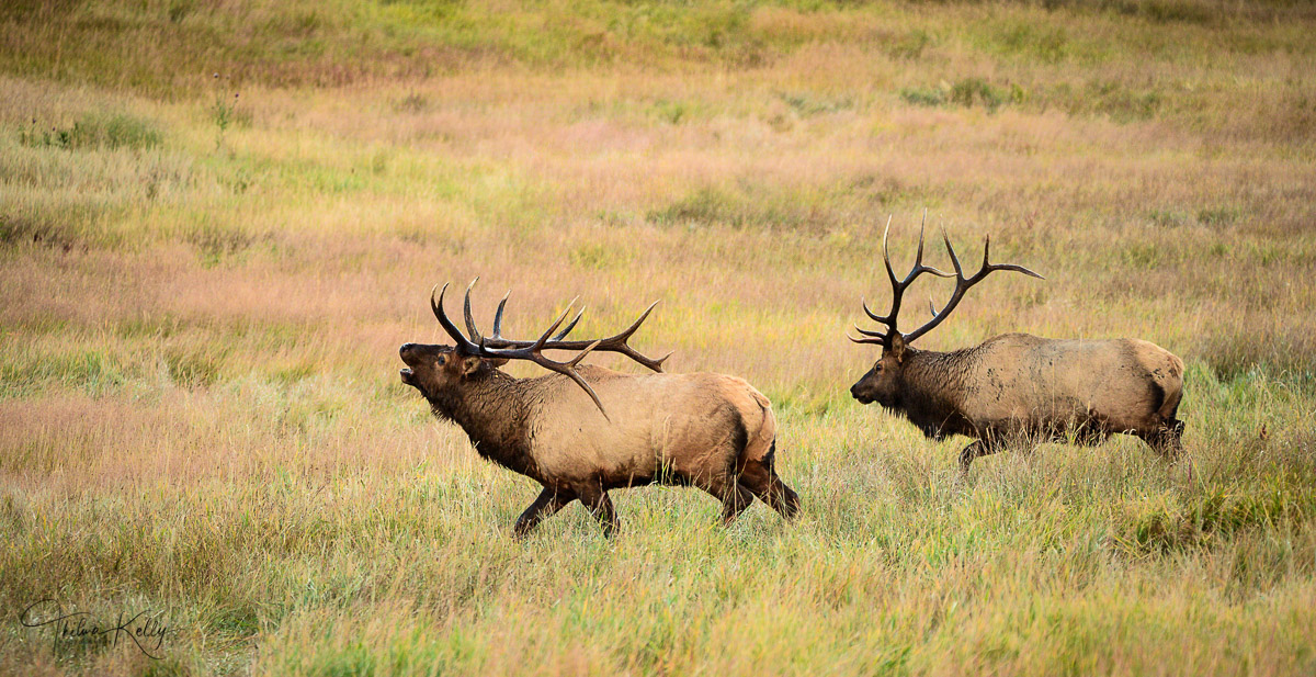 male elk, chasing competitor, elk rut, photo