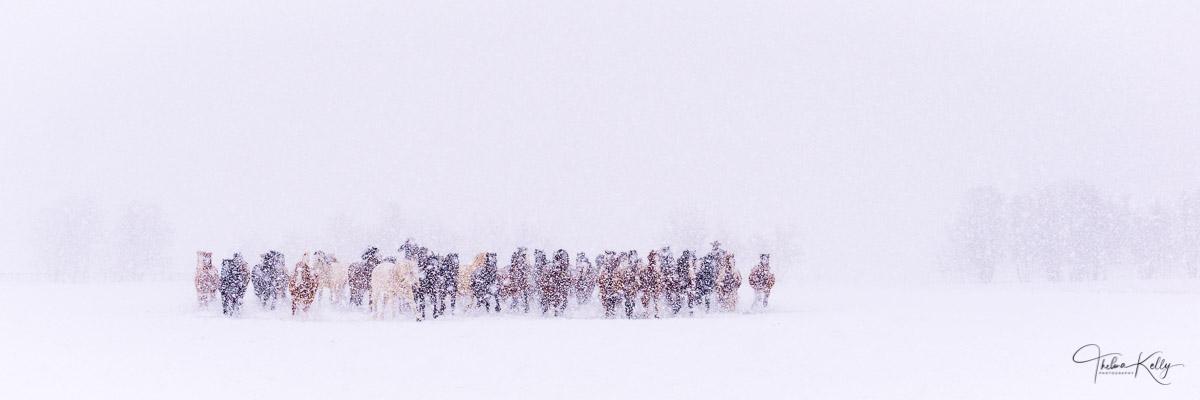 horses, snow, line of horses, photo