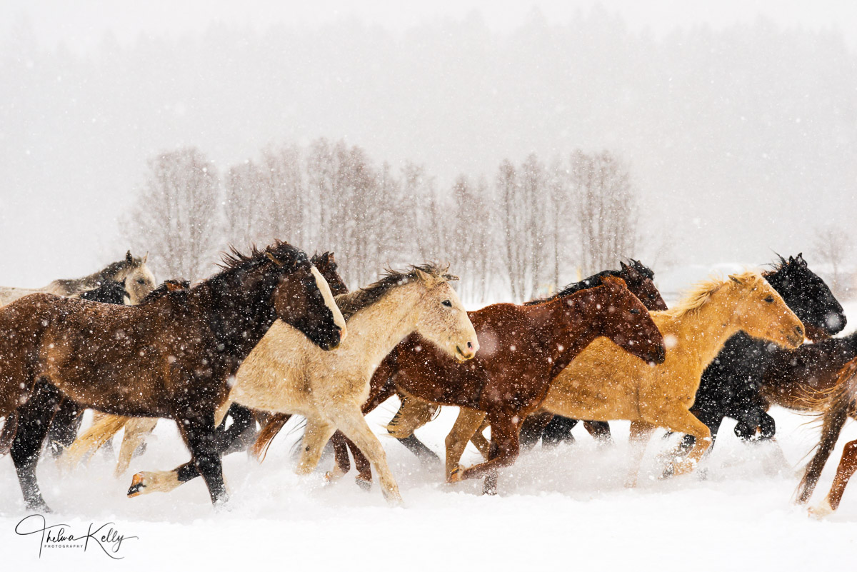 Montana, winter, winter horses, snow, running horses, photo